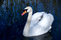 OW78 Mute Swan